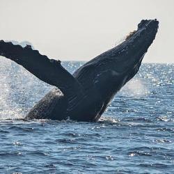 Avistamiento de ballenas en Petatlán
